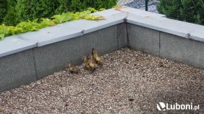 Uwięzione kaczki na dachu